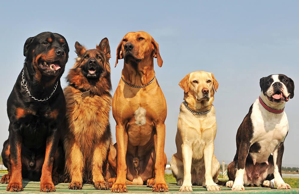 5 rase de câini folosite cu succes pentru paza și protecția locuinței